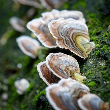 Eine Gruppe von Pilzen grüßt auf der Rinde eines umgestürzten Baumes von Studio de Waay