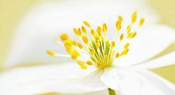 Bos-Anemoon (Witte Bosanemoon) van Caroline Lichthart