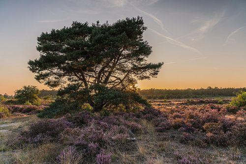 Arbre solitaire sur la lande près de Radio Kootwijk