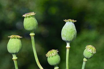 Vijf groene papavercapsules tegen een groene achtergrond van Ulrike Leone