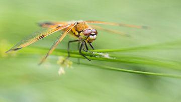Libelle | Libelle in het groen 1 van Servan Ott