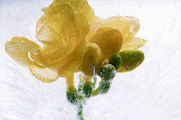 Gelbe Freesie in Eis 4 von Marc Heiligenstein