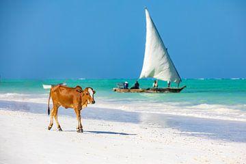 Een koe bezoekt het paradijs achtige strand op Zanzibar met een traditionele zeilboot op de achtergr van Michiel Ton