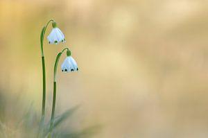 cloches de printemps sur