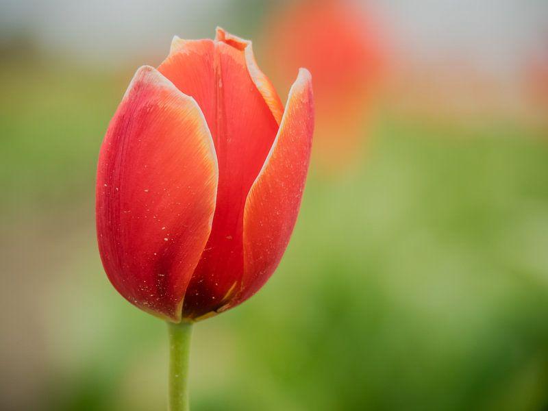 Tulpen mit einem grünen Hintergrund von Martijn Tilroe