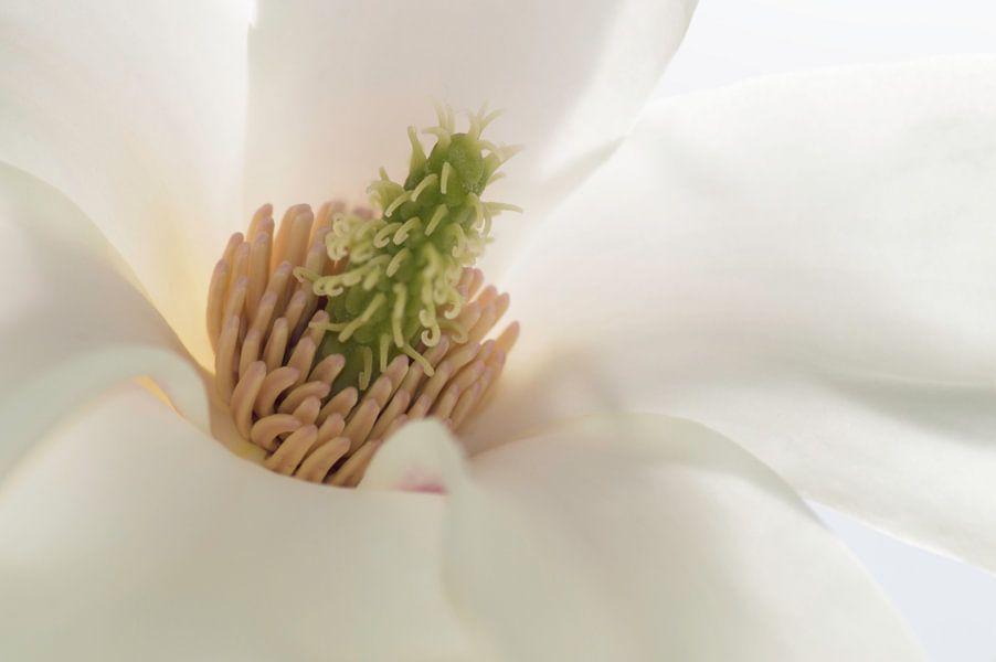 Magnolia hart