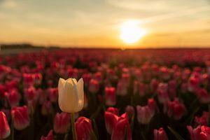 Tulp bij zonsondergang van André Dorst
