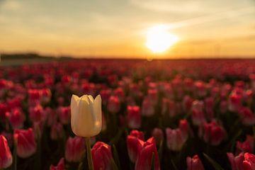Tulpe bei Sonnenuntergang von André Dorst