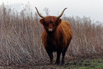 Schotse Hooglander van Patrick van Lent