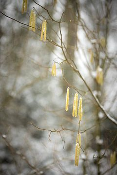 Gelbe Blumen im Winter | Schnee im Wald | weiße Farben | Winterfoto von Karijn Seldam