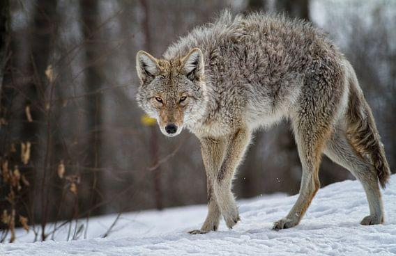 Coyote van Renald Bourque