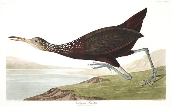 Koerlan van Birds of America