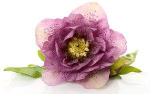 christmas rose flower in detail