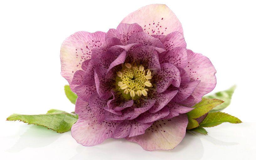 christmas rose flower in detail sur ChrisWillemsen