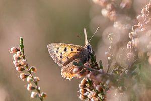 Verträumtes Bild eines kleinen Schmetterlings in der Heide