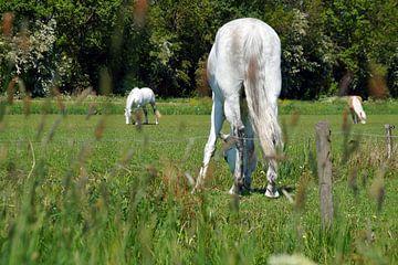 wit paard in de wei met kont in beeld van wil spijker