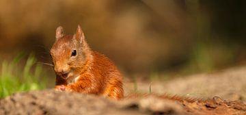 Eichhörnchen von Joke Beers-Blom