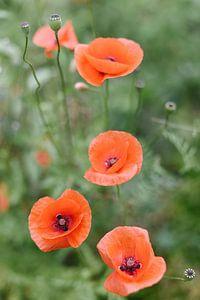 Rode klaprozen in het groen | Bloemen | Natuur Fotografie | Botanische foto van Mirjam Broekhof