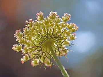 Blume von unterhalb in der Hintergrundbeleuchtung sur Ronald Smits