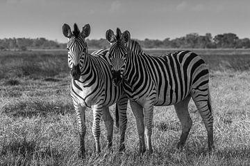 Zebras in de Okavango delta van Erik Verbeeck