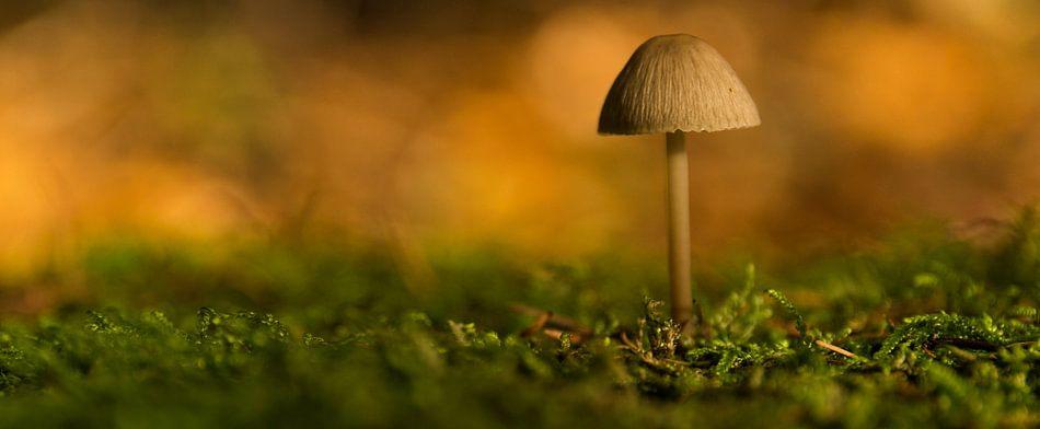 Paddenstoel op een bedje van mos, Surae, Dorst, Oosterhout, Noord-Brabant, Holland, afbeelding padde van Ad Huijben