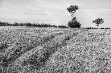 Weizenfeld von Agostino Lo Coco