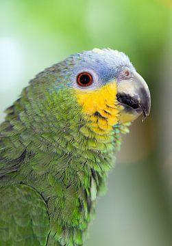 Amazone papegaai portret van Dennis van de Water