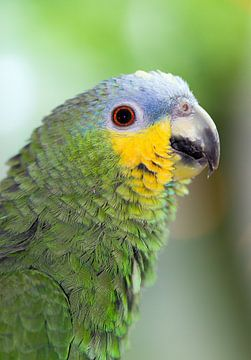Amazone papegaai portret van
