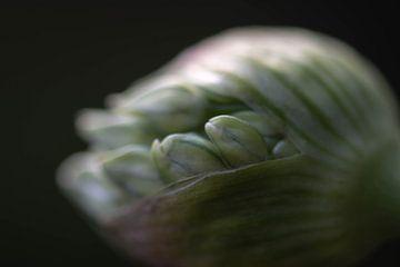 Knospende Zierzwiebel von Tania Perneel
