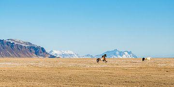 Spielende Islandpferde von Denis Feiner