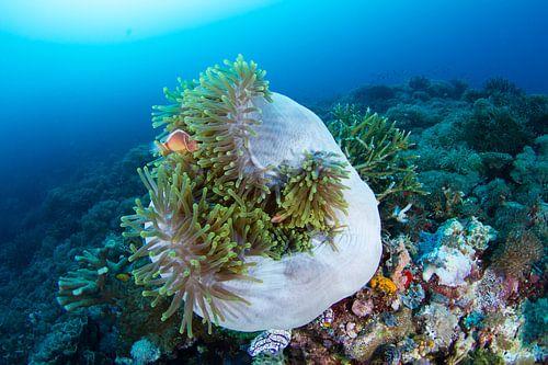 Anemoonvissen in opgerolde anemoon van