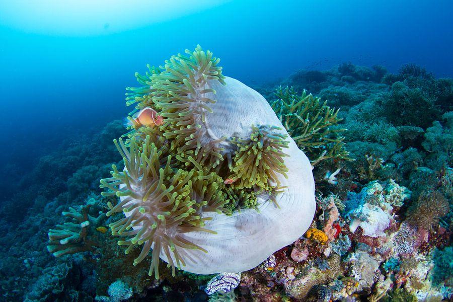 Anemoonvissen in opgerolde anemoon