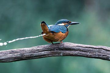 Eisvogel von Christien van der Veen Fotografie
