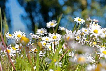 Een veld vol madeliefjes sur Fleur Halkema