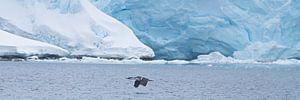 De arctische Aalscholver in volle vlucht