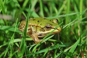 Kleiner Frosch mit der goldenen Auge