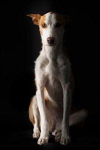 Jachthond zit op een stoel met zwarte achtergrond , ras Podenco, hond, huisdier zit op een stoel , h