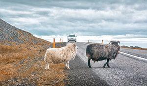 Ijslandse schapen