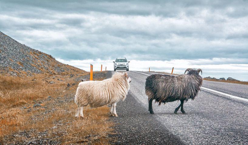Ijslandse schapen van Niels Hemmeryckx