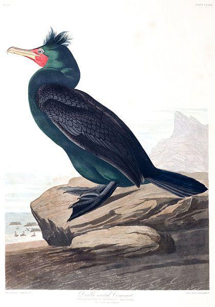 Geoorde Aalscholver van Birds of America