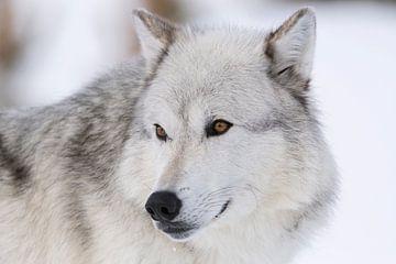 Wolfsaugen...  Grauer Wolf *Canis lupus* von wunderbare Erde