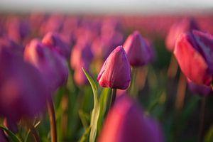 Rote Tulpen auf dem Feld