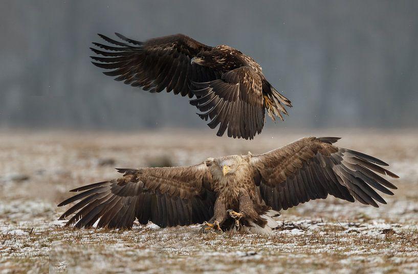 White tailed eagle sur Menno Schaefer