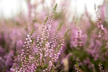 Blühende violette Heidekrautblüten. Blühendes Heidekraut von Karijn Seldam
