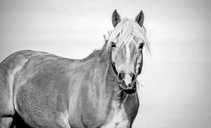 Haflinger schwarz weiß von Kim Reuvekamp
