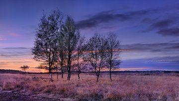 Birken an einem warmen beleuchtet Heideland bei Sonnenuntergang von Tony Vingerhoets