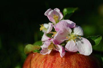 Apfelblüten auf einem Apfel von Ulrike Leone