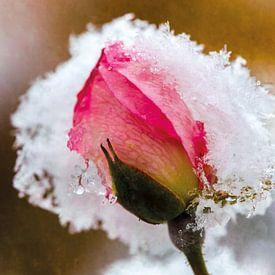 Rosenblüte im Schnee von Nicc Koch