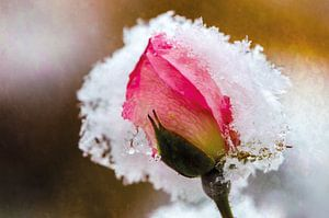 Rosenblüte im Schnee