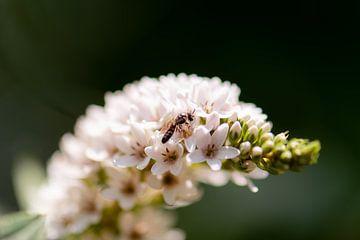 fleur d'été blanche sur Tania Perneel